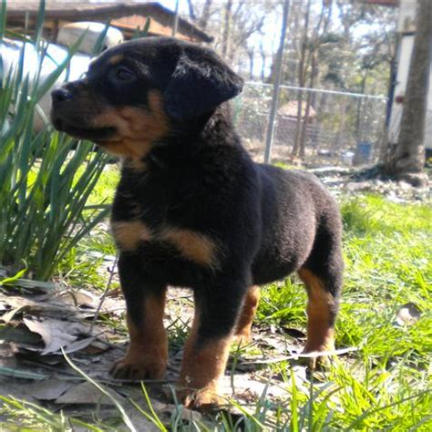 mini rottweiler puppies for sale rottweiler for sale petsale inc