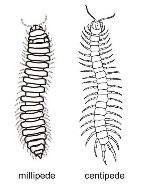 labelled diagram of a millipede what s the difference millipedes and centipedes prime