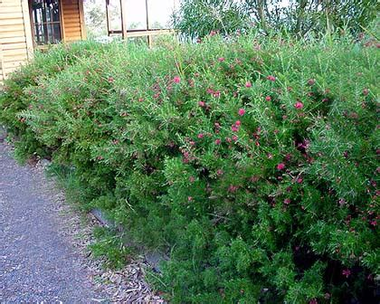 Pretty Gifts gardensonline grevillea rosmarinifolia