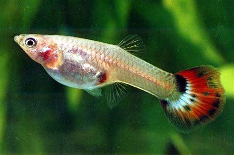 Types Of Aquarium by Starting With Guppies Fish Aquarium