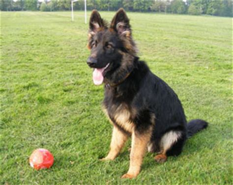 dog recently started peeing in house german shepherd puppy has quot happy peeing quot