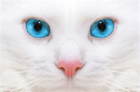 imagenes ojos blancos 191 por qu 233 los gatos blancos de ojos azules suelen ser