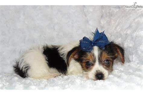 yorkie poo puppies dallas tx dirk yorkiepoo yorkie poo puppy for sale near dallas fort worth c2bfdfe9