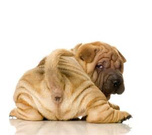 pictures of shar pei puppies shar pei dogs picture