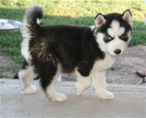 husky puppies vt pets bennington vt free classified ads