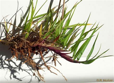 namethatplant net rhizome images