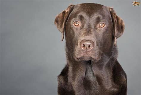 Labrador retriever hereditary health and health testing