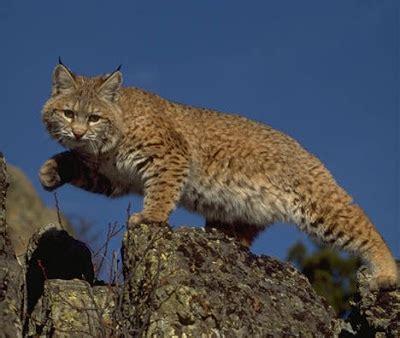 lince rojo fotos del lince rojo el gato majestuoso felino gatos salvajes