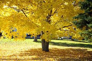 fall maple tree with bright yellow leaves photograph by