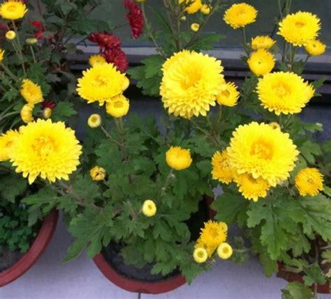 menanam bunga krisan  pot bibitbungacom