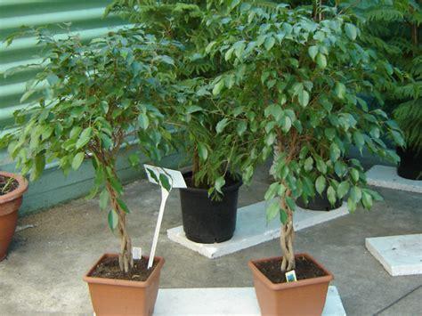 schädlinge bei zimmerpflanzen 3884 birkenfeige ficus benjamini pflege krankheiten sch 228 dlinge