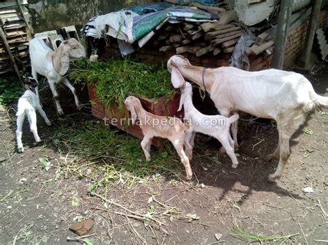 Anakan Kambing Lokal jumlah anak yang dihasilkan kambing akan menentukan laju pertumbuhannya ternakpedia