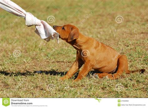 free puppy playtime puppy playtime royalty free stock photos image 21632858