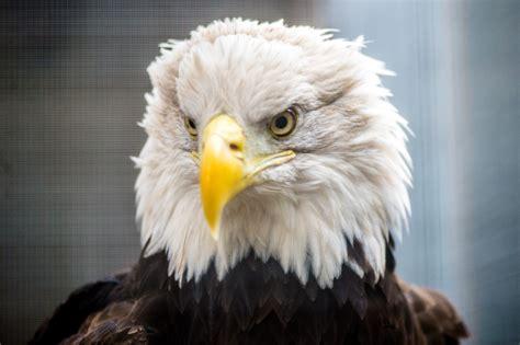 bald eagle lindsay wildlife experience