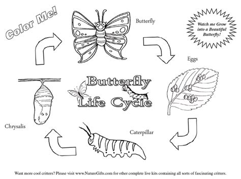 butterfly stages coloring pages free butterfly coloring pages butterfly life cycle