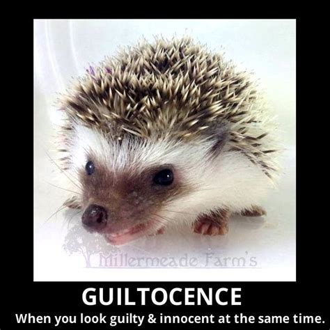 Hedgehog Meme - 109 best hedgehog memes funnies quotes and misc