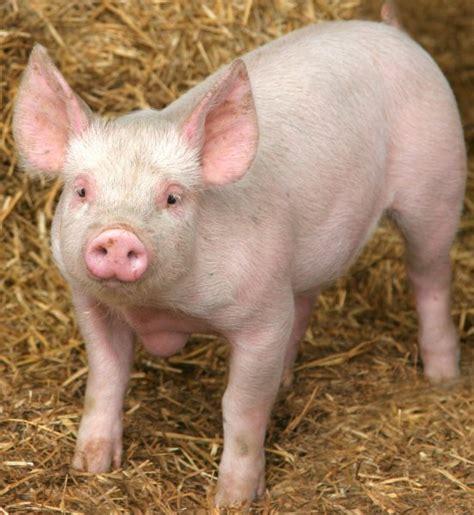 Animal Farm Pig pig animal wildlife