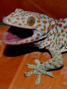 tokay gecko wikipedia