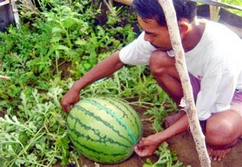 Bibit Semangka Buah Besar panduan cara budidaya tanaman semangka yang baik petani top