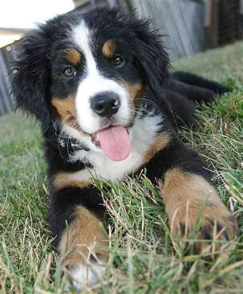 bernese mountain mix puppies bernese mountain siberian husky mix www pixshark images galleries with a bite