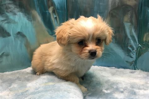 cheap puppies adoption pets world
