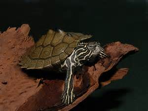 southern black knobbed map turtle for sale from the turtle