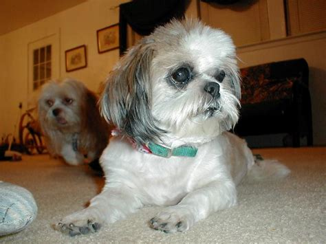 rescue dogs shih tzu shih tzu rescue available dogs for adoption breeds picture