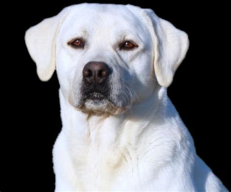 white labrador retriever puppies white labrador retrievers and white labrador retriever puppies