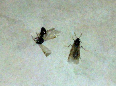 Small Flying Insects At Home Small Flying Bugs In House Images House Image