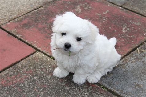 maltese puppies for sale colorado maltese puppies for sale barking essex pets4homes