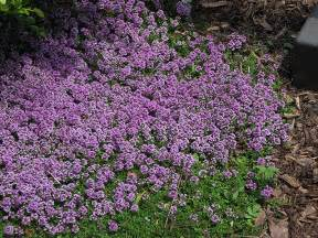 Carpet Plants Purple Carpet Creeping Thyme Thymus Praecox Purple