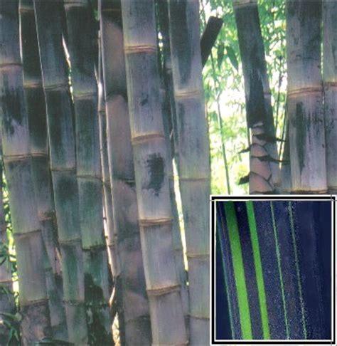 Hitam Mamboo dendrocalamus asper betung hitam bamboo photos bamboo