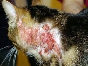 prurit cervico pcf chez le chat
