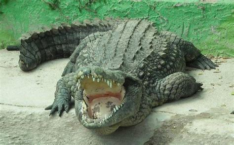 el cocodrilo al que preocupaci 243 n en miami por cocodrilos que devoran humanos noticias de m 233 xico y el mundo