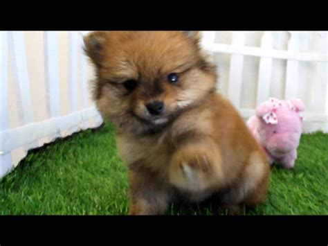 teacup brown pomeranian brown teacup pomeranians www pixshark images galleries with a bite
