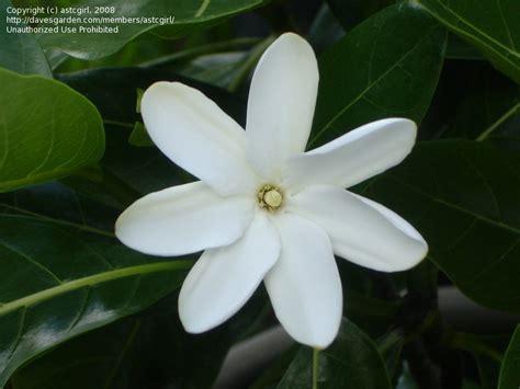 Gardenia Taitensis Plantfiles Pictures Tahitian Gardenia Tiare Gardenia