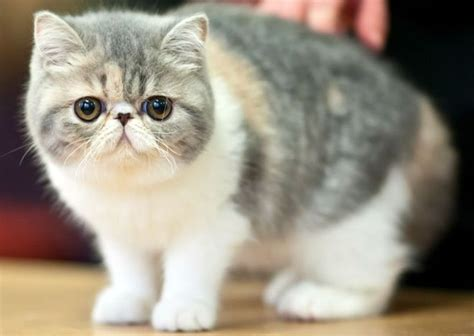 foto di gatti persiani razze feline il gatto carattere e caratteristiche