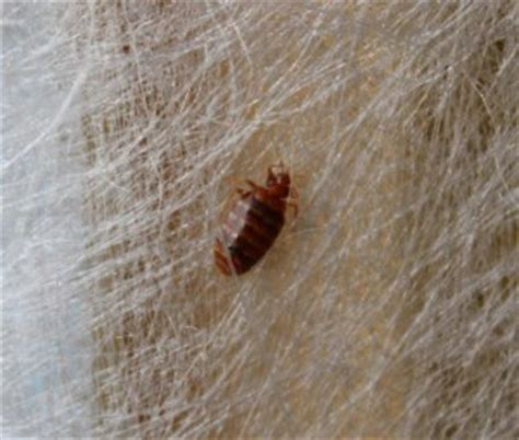 what time do bed bugs come out bed bugs in boise area barrier pest control