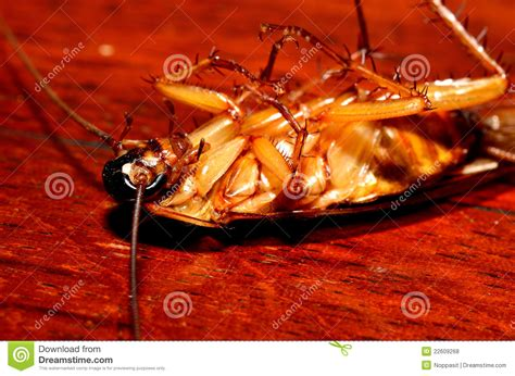 cockroach in house close up dead cockroach in house royalty free stock photos image 22609268