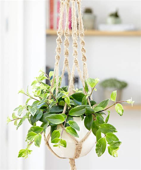 hanging plants buy house plants now lipstick hanging plant variegata