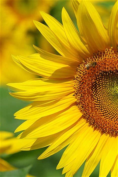 wallpaper for iphone sunflower iphone sunflower wallpaper