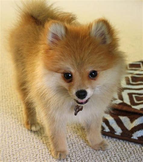 boy pomeranian names pomeranian puppy them puppy fluffy babies