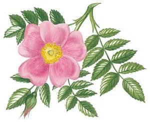 wild rose iowa state flower travel iowa usa state flower of iowa wild prairie roses pictures