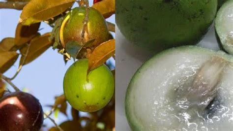 Min 5 Biji Benih Buah Katilayu jual min 25 biji benih buah apel jawa genitu kenitu aneka benih tanaman
