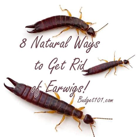earwigs in house 10 best ideas about earwigs on pinterest earwig control gardening and companion