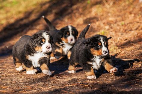bernese mountain breed history and some interesting facts bernese mountain bernese mountain pet insurance info