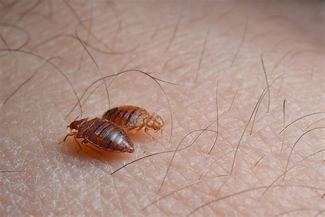 best bed bug exterminator best bed bug exterminator bugs 28 images how to choose