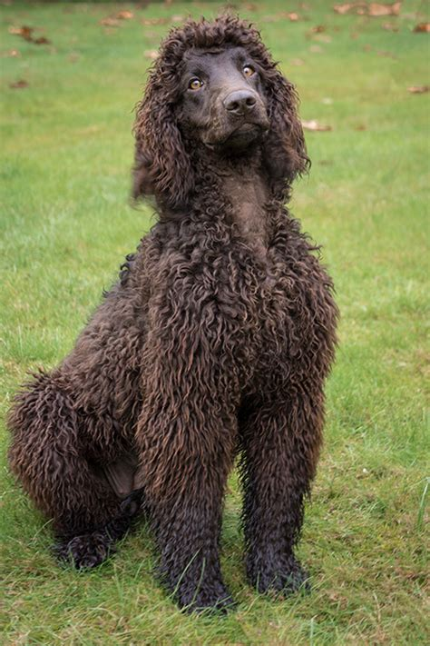water spaniel puppies day water spaniels models picture