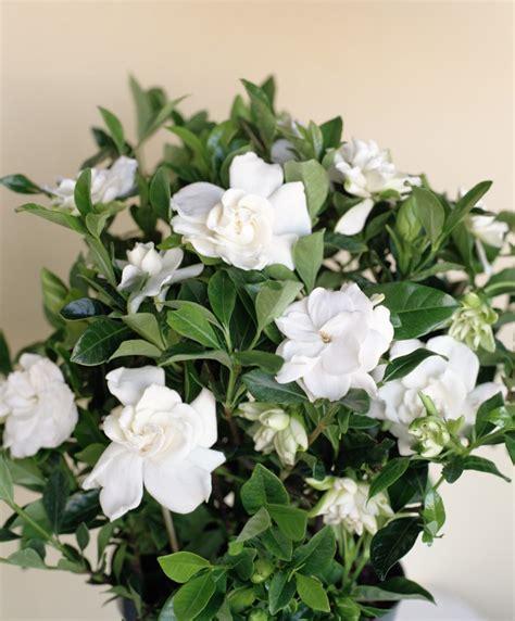 grow gorgeous gardenias