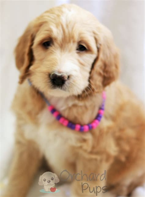 mini labradoodles rochester ny puppy for sale goldendoodles for sale puppies ny adopt